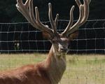 Hungarian deer 8 years