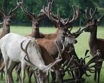 Deer between 2 and 5 years